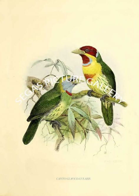 Fine art print of the CAPITO GLAUCO-GULARIS by J G Keulemans (1871)